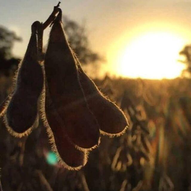 Para Cotribá, a sua safra vale ouro. 110 anos de confiança e parceria ao lado do produtor rural. 🌾🌾