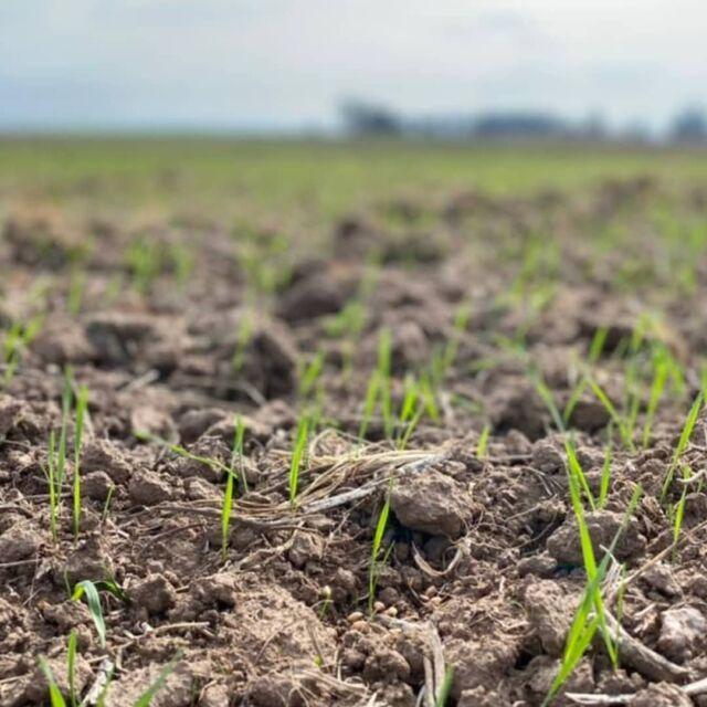 Com as chuvas dessa semana, o plantio do trigo avança em várias regiões do estado. 🌾🌾 O bom cenário para a cultura favorece o aumento da área plantada. A projeção é de mais de um milhão de hectares. 📈🎯 Otrigo vem se configurando em uma opção rentável para as culturas de inverno. O menor custo de produção estimula os produtores a investirem.  Invista na cultura do trigo. 🌾🌾 Procure a unidade da Cotribá mais próxima. 👨🏻🌾🤝🏻  #trigo #produtividade #sementescotribá #cotribá