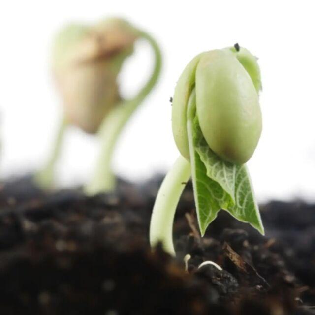 Escolher as melhores sementes e realizar o manejo adequado do solo são os primeiros passos para colher rentabilidade e sucesso na colheita. Quem planta qualidade, colhe produtividade. 📈 Sementes Cotribá 🌱 📸 Miriam Lins